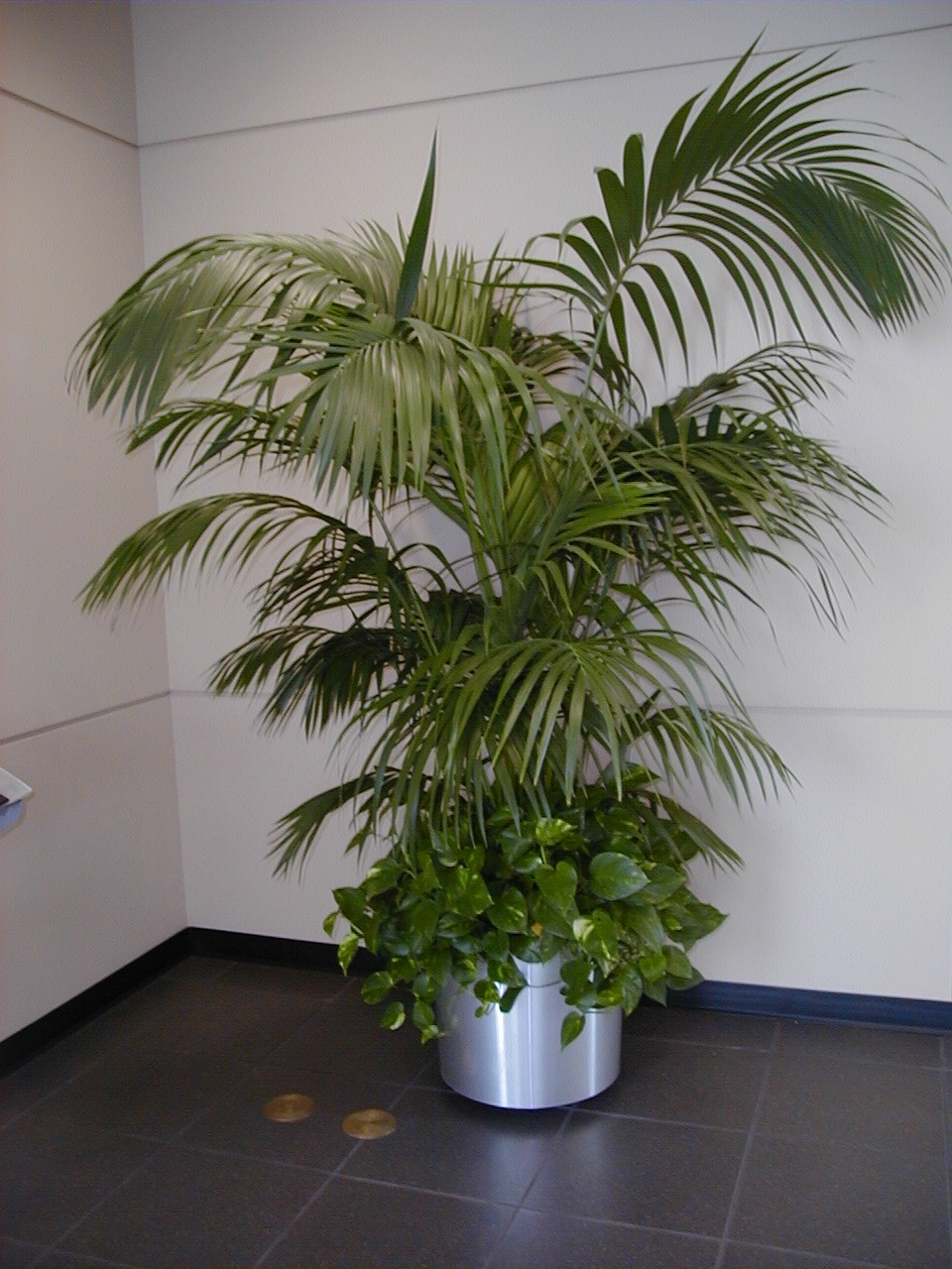 Kentia for Plante kentia